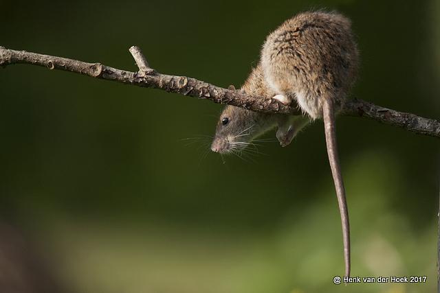 Bruine Rat.