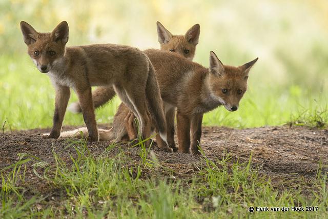 jonge vosjes.