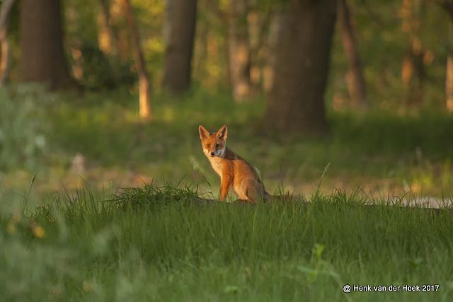 jonge vos.