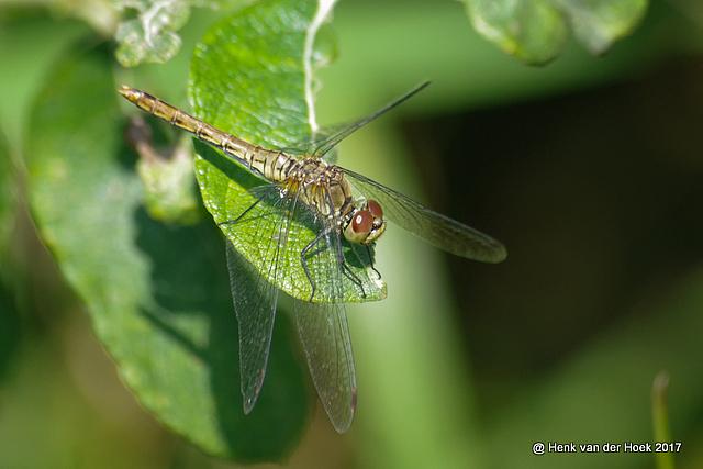 heide libelle vrouwtje?