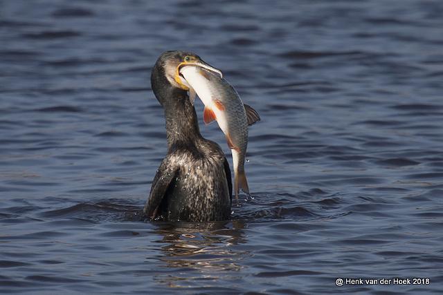 Aalscholver met grote vis.