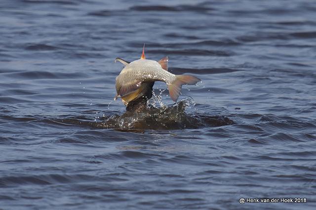 Aalscholver met vis.