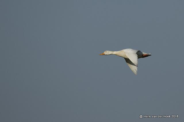 Witte verwilderde eend
